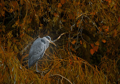 Autumn heron (Steve-h) Tags: nature natur natura naturaleza bird heron greatgreyheron trees high autumn fall colour colours grey white dark orange yellow green shade shadows park ststephensgreen dublin ireland europe citycentre downtown urban wildlife wildfowl digital exposure eos ef canon telephoto zoom lens lightroom photoshop