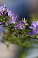 zweefvlieg (carolina b. fotografie) Tags: hoverfly zweefvlieg garden tuin bokeh dof campanula