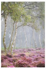 Heather and Mist on Stanton Moor (Vemsteroo) Tags: mist fog stanton moor heather birch silverbirch morning sunrise dawn atmospheric fujifilm xt2 fuji xseries 50140mm 28 ethereal peakdistrict derbyshire beautiful nature beautyinnature landscape summer latesummer outdoors heath moorland woodland trees circularpolariser