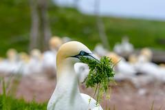 Gannet Nest Building (Golden_Arrow) Tags: gannet perce quebec nest building grass
