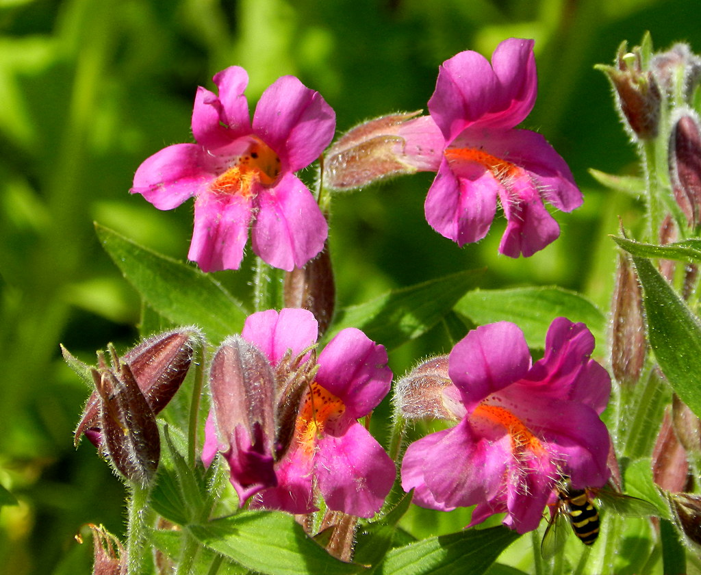The Worlds Newest Photos Of Flower And Monkeyflower Flickr Hive Mind