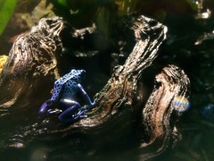 Spotted Blue (sallonoroff) Tags: appleiphone5s thedeep tropical spotty blue amphibian frog