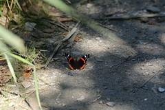 Vanessa atalanta (dhobern) Tags: minsmere suffolk england uk august 2016 lepidoptera nymphalidae nymphalinae vanessa atalanta
