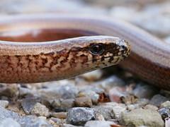 sideview (michaelmueller410) Tags: harz kamschlacken oberharz wald wood forest reptil reptile augen stein weg closeup makro