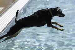 IMG_9375 (kris10pix) Tags: dogpaddle2016 dogs puppies puppy splash pool fetch dog wisconsin capitolk9s mutts purebreed leap madisonwi goodmanspool wetdog summer