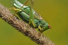 noisy one (ladybugdiscovery) Tags: katydid green meadow insect noisy