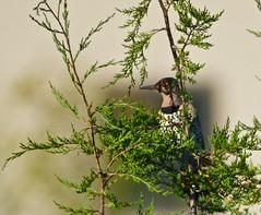 A Northern Flicker (Scott M. Mohn) Tags: bird woodpecker tree wildlife nature morninglight minnesota september outdoors sony ilca77m2 northernflicker
