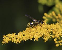 Male Euodynerus Potter Wasp (milesizz) Tags: aculeata vespoidea vespidae eumeninae wisconsin wi milwaukee euodynerus euodynerusforaminatus potterwasp
