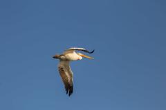 American White Pelican. (jcldigitalstudio.com) Tags: pelecanus erythrorhynchos large aquatic soaring bird