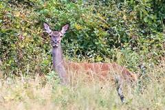 biche, cerf laphe (cervus elaphus) (G.NioncelPhotographie) Tags: laphe cervus elaphus animaux fort mammifre