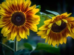 Sonnenblumen * Sunflowers (tuvidaloca) Tags: dof desenfoque desenfoqueparcial schrfentiefe schrfenverteilung test bokehtest bokeh manuallens primelens sonnenblume sunflower girasol giganta mirasol gelb yellow amarillo green grn verde olympusomsystemfzuikoautos1850mm