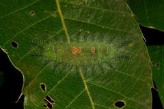 "Stinging Nettle Slug Caterpillar (Cup Moth, Limacodidae) ""Cyclops"" (John Horstman (itchydogimages, SINOBUG)) Tags: insect macro china yunnan itchydogimages sinobug cup moth lepidoptera limacodidae stinging nettle slug caterpillar larva cyclops fbl"
