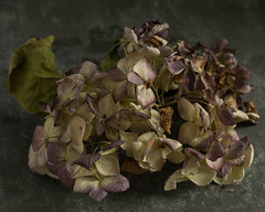 Macro Monday- Sweet Spot Squared (jmary124) Tags: macro monday sweet spot squared flowers dark moody