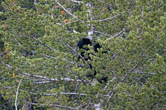 Crazy Bear In Tree 2221 (casch52) Tags: bear tree mammal animal wildlife wild nature fur cute ursus climb brown climbing cub looking big omnivore predator beautiful young fauna watching black face captive arctos forest life background portrait ursusarctos animalia nose carnivore danger dangerous joy closeup feeding eye family claws relaxing canada nordic sweet furry paw woods outdoors crazy 400mm canon f4 dois sapling antics fun
