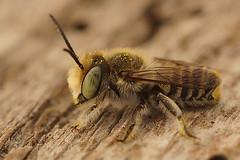 Lithurgus chrysurus, male, Rousson (henk.wallays) Tags:
