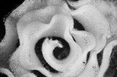 DSC_5053 (bajo_el_mar) Tags: 2016 cantbrico lastres underwater fotosub moluscos nudibranquio puesta