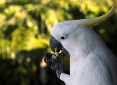 Biscuit thief (RJAB2012) Tags: wildparrot bird cockatoo sulphurcrested white yellow 100v10f