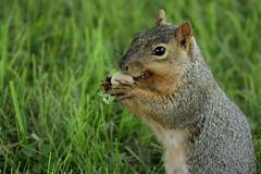 Squirrel, Morton Arboretum. 359 (EOS) (Mega-Magpie) Tags: canon eos 60d nature wildlife squirrel the morton arboretum lisle dupage il illinois usa america cute green grass