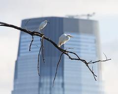 Egrets of Jersey City (malarchie) Tags: snowyegret greategret libertystatepark jerseycity 30hudsonstreet goldmansachstower egrettathula ardeaalba