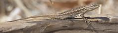 Western Fence Lizard (Sceloporus occidentalis) (uncle.dee9600) Tags: lizard basking westernfencelizard sceloporusoccidentalis telephoto nikon nikond7200