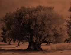 (viaggiaresiii) Tags: olivo