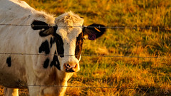 Speckled Nose (stuanderson7) Tags: outdoor animal nature cow depthoffield bokeh field barbedwire fence fencefriday