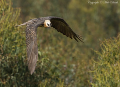 Bearded Vulture (Gypaetus barbatus) (Bird Guide UAE - 1M+ Views thanks !) Tags: birds ethiopia gypaetusbarbatus beardedvulture