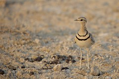 Double-banded Courser (Rhinoptilus africanus) (piazzi1969) Tags: doublebandedcourser rhinoptilusafricanus coursers renvogel namibia etosha wildlife birds waders canon eos 5d markiii ef100400mm nature