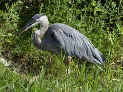 Aurora, Waubonsie Lake Park, Gray Heron (Mary Warren (7.3+ Million Views)) Tags: aurorail lakewaubonsie nature flora plants green fauna animal bird gray grayheron