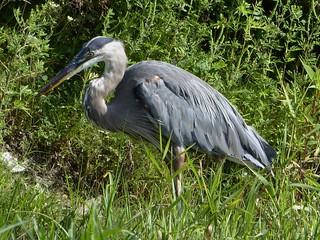 Aurora, Waubonsie Lake Park, Gray Heron