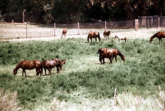 34-208 (ndpa / s. lundeen, archivist) Tags: nick dewolf nickdewolf color photographbynickdewolf 1970s 1973 film 35mm 34 reel34 utah southwestutah southwesternunitedstates zionnationalpark nationalpark animal animals horse horses field grazing fence ranch