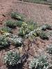 Organic Eucalyptus and Sage