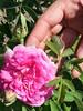 Lavido Rose