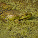 """Marsh Frog • <a style=""""font-size:0.8em;"""" href=""""http://www.flickr.com/photos/85489280@N00/7908658202/"""" target=""""_blank"""">View on Flickr</a>"""