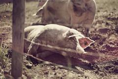 Make it dirty (dimitri_ca) Tags: wild playing animal fauna mammal countryside farm dirty pork pigs resting slushy murky sludge glutton muddy nasty snout groin sows porc mucky farmside sloughy