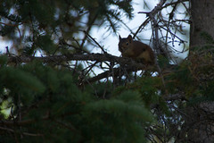 DSC00408.jpg (Wannagotravel) Tags: canada mountains rockies squirrel alberta banff rockymountains sulphurmountain banffnationalpark