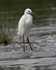 Little Egret (Wild Chroma) Tags: birds srilanka egret egrettagarzetta egretta garzetta nonpasserines muthurajawela