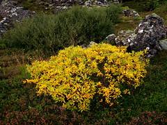 Haust í Heiðmörk (hó) Tags: autumn fall nature yellow iceland bush colours haust heiðmörk 2012 gulur víðir