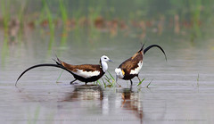 Pheasant-tailed Jacana (zahoor-salmi) Tags: pakistan macro art nature animals trek canon photo tv google nikon flickr shot natural image action wildlife c watch fine pic national bbc punjab geographic wwf salmi brds discovry bhalwal zahoorsalmi panoramafotogrfico thewonderfulworldofbirds