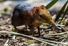 Rhynchocyon (Lennart Tange) Tags: elephant jumping rotterdam blijdorp shrew diergaarde petersi macroscelididae rhynchocyon
