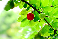 Delightful Fruits ( Nana) Tags: life light wild tree green nature cherry colorful natural taiwan barbados   taiwan taiwan delightfulfruits