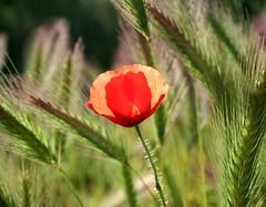 See through poppy (snowyturner) Tags: sun field grass stem bokeh meadow malta poppy backlighting hairs mellieha
