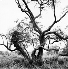 Tree on the grounds of the Visitor Centre (Dave Road Records) Tags: trees ireland blackandwhite landscapes phoenixpark kodakfilm filmphotography castleknock irishlandscapes