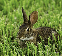 Petey (stan hope) Tags: usa rabbit nature nikon florida wildlife ngc npc sebring floridawildlife thegalaxy specanimal highlandscounty d7000