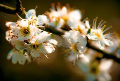 Spring (newfilm.dk) Tags: flowers plant flower tree spring blossom blackthorn prunus sloe prunusspinosa spinosa slen