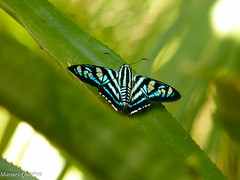 Borboleta (Marney Queiroz) Tags: nature brasil cores do natureza parana ceu foz iguacu queiroz marney panasonicfz35 marneyqueiroz