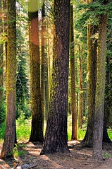 The trees (faungg) Tags: park travel trees green nature pine national yosemite yosemitenationalpark trunks
