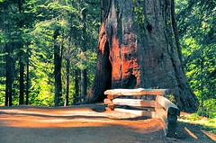The big tree (faungg) Tags: old travel trees red green nature pine woods hiking trail national yosemite trunk inside yosemitenationalpark   grenn