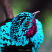 Red-throated Blue Bird --- [Explore Front Page]