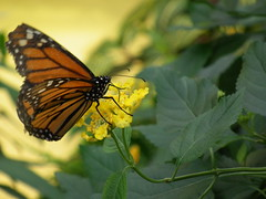 Monarch and yellow flower (PanilBrune) Tags: flower fleur butterfly flora papillon monarch monarque wonderer